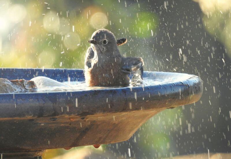 鳥が公園の水飲み場で水浴びしてる写真